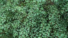 Groene struik in dauw stock video