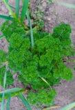 Groene struik krullende peterselie op het tuinbed in de tuin stock foto's