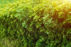 Groene struik met witte bloem Groene bladerenmuur Stock Fotografie
