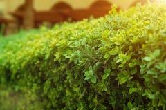 Groene struik met witte bloem Groene bladerenmuur Stock Foto's
