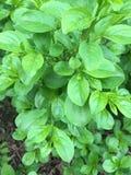 Groene struikbladeren Stock Afbeeldingen