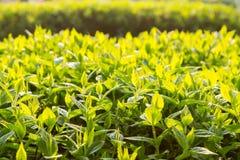Groene struikbladeren in backlight Royalty-vrije Stock Afbeeldingen