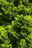 Groene struiken Stock Afbeeldingen