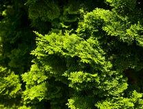 Groene struiken Royalty-vrije Stock Afbeeldingen
