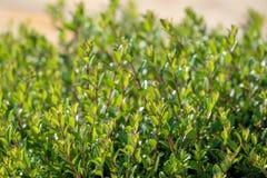 Groene struiken met in orde gemaakte takken en jonge bladeren royalty-vrije stock fotografie