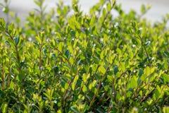 Groene struiken met in orde gemaakte takken en jonge bladeren stock foto