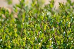 Groene struiken met in orde gemaakte takken en jonge bladeren stock foto's