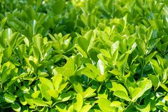 Groene struiken met in orde gemaakte takken en jonge bladeren stock afbeeldingen