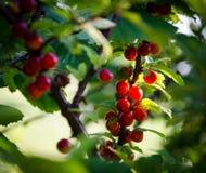 Groene struiken met rode bessen, bessen op takken Stock Foto's