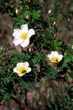 Groene struiken met witte bloemen van het bloeien wilde briar, die door insecten worden bestoven Aard en naturalness stock fotografie