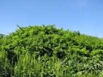 Groene struiken tegen de hemel royalty-vrije stock fotografie
