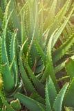 Groene struiken van succulent installatiealoë in zonnige dag Stock Foto's