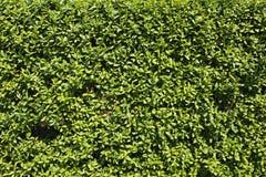 Groene struiktextuur Stock Fotografie