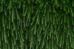 Groene struiktextuur Stock Foto