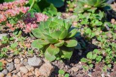Groene succulent met een roze rand op de bloemblaadjes Royalty-vrije Stock Afbeeldingen