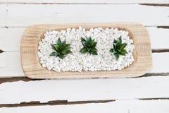 Groene succulent in witte kiezelstenen met uitstekende houten achtergrond Stock Afbeelding