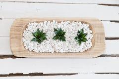 Groene succulent in witte kiezelstenen met uitstekende houten achtergrond Stock Afbeeldingen