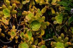 Groene Succulente Bloem Stock Afbeelding