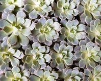 Groene succulente installatie & bloemen Stock Foto's