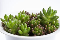 Groene succulents Royalty-vrije Stock Afbeeldingen