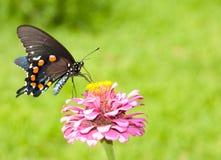 Groene Swallowtail op Zinnia tegen groen Royalty-vrije Stock Afbeeldingen