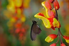 Groene swallowtailvlinder, Papilio-palinurus, insect in de aardhabitat, rode en gele van Liana bloem, Indonesië, Azië Rood royalty-vrije stock foto's
