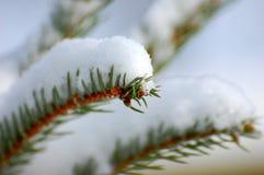 Groene tak in de sneeuwwinter Royalty-vrije Stock Afbeelding