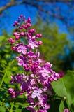 Groene tak met de lente tot bloei komende ilac bloemen stock foto's