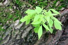 Groene tak op een boomboomstam Stock Afbeeldingen