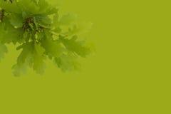 Groene tak van een eiken boom Stock Afbeelding