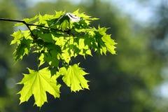 Groene tak van een esdoorn Stock Afbeeldingen