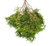 Groene tak van een jeneverbes met bessen en naalden op geïsoleerde achtergrond royalty-vrije stock afbeelding