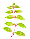 Groene tak van fuchsia met lange bladeren achter gedraaid aan camera i Stock Fotografie