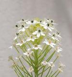 Groene takje bloeiende mooie kleine witte bloemen Stock Foto's