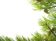 Groene takken van de pijnboom royalty-vrije stock fotografie