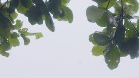 Groene takken van de zomerboom terwijl regen op grijze hemelachtergrond Nat boomtakken en gebladerte terwijl regen op bewolking stock videobeelden