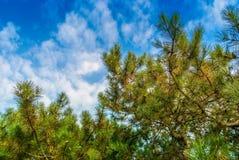 Groene takken van een pijnboom tegen de blauwe hemel stock afbeeldingen