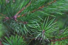 Groene takken van pijnboom op een achtergrond van groen stock afbeelding