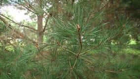 Groene takken van pijnboom Groene spar of pijnboomtakken stock footage