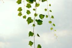Groene takken van wilde druiven tegen de hemel stock foto