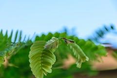 Groene tamarinde Stock Afbeeldingen