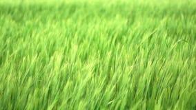 Groene tarwe Royalty-vrije Stock Afbeeldingen