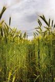 Groene tarwe royalty-vrije stock foto's