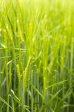 Groene tarwe Stock Afbeelding
