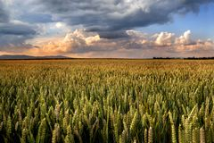 Groene tarwe bij de zonsondergang met stormachtige wolken stock fotografie