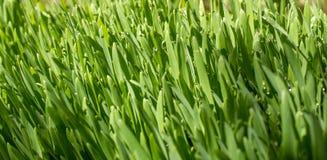Groene tarwe die met dauw wordt behandeld Stock Foto's