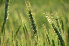 Groene tarwe op het gebied Royalty-vrije Stock Afbeeldingen