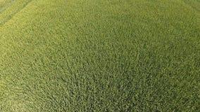 Groene tarwe op het gebied, hoogste mening met een hommel Textuur van tarwe groene achtergrond royalty-vrije stock afbeeldingen