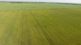 Groene tarwe op het gebied, hoogste mening met een hommel Textuur van tarwe groene achtergrond stock fotografie