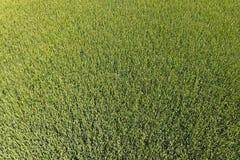 Groene tarwe op het gebied, hoogste mening met een hommel Textuur van whea royalty-vrije stock afbeeldingen